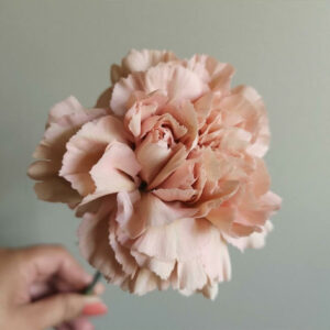 Peach Carnation Standard Flower Delivery Vancouver