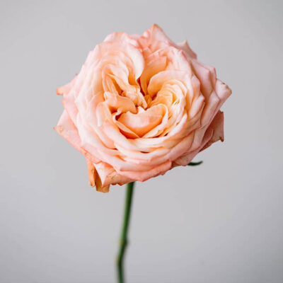 Peach Shimmer Roses Standard Flower Delivery Vancouver