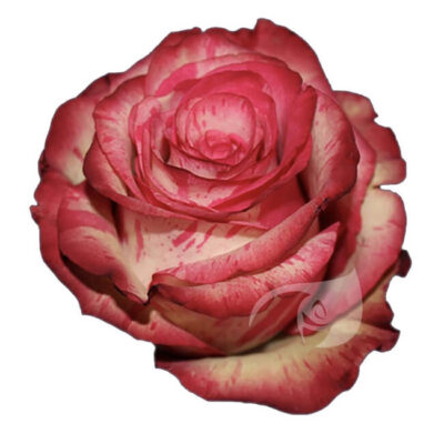 Pink Magic Times Roses Standard Flower Delivery