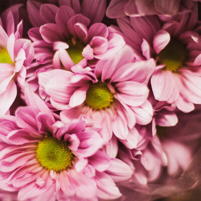 Pink Mums Spray Flower Delivery