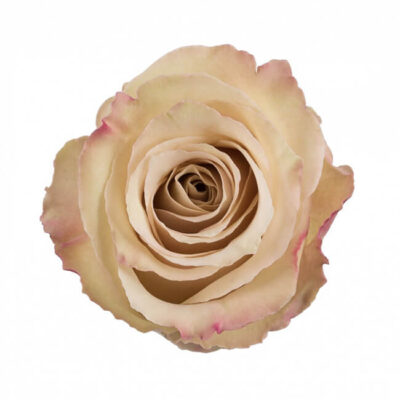 Pink Quicksand Roses Standard Flower Delivery Vancouver