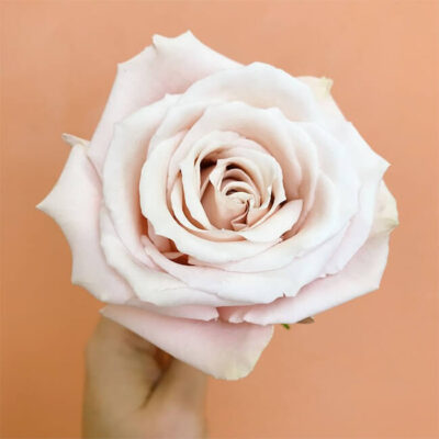 Pink Sweet Escimo Roses Standard Flower Delivery