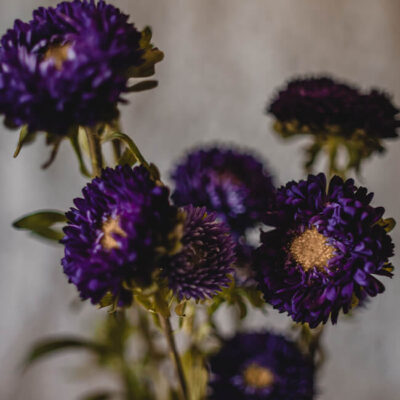 Purple Aster Matsumoto Flower Delivery