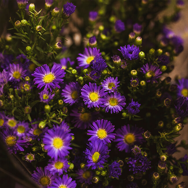 Purple Aster Matsumoto Flower Delivery Vancouver