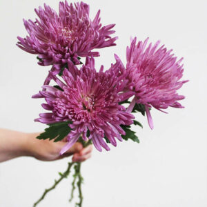 Purple Mums Large Size Flower Delivery Vancouver