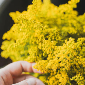 Solidago Flower Delivery