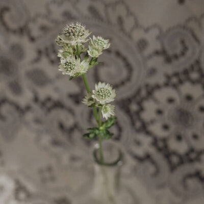White Astrantia Flower Delivery