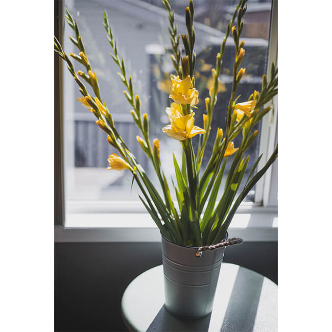 Yellow Gladiola Flower Delivery
