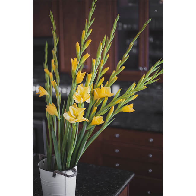 Yellow Gladiola Flower Delivery Vancouver