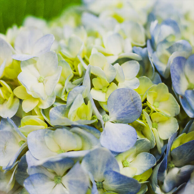 Blue Hydrangea Flower Delivery Vancouver