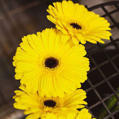bright yellow gerberas Flower Delivery Vancouver