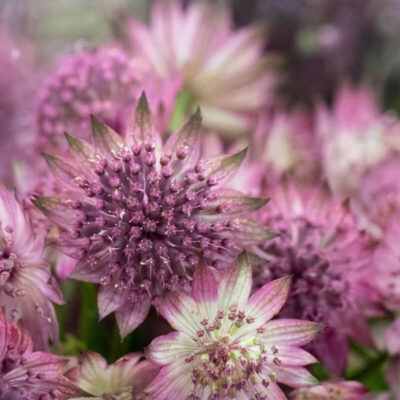 pink astrantia Flower Delivery Vancouver