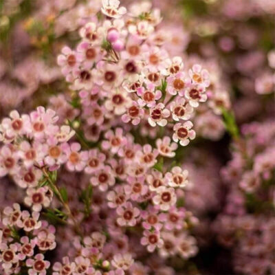 pink waxflower Flower Delivery Vancouver