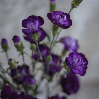 purple mini carnations Flower Delivery