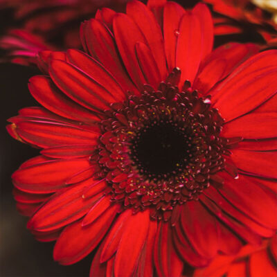 red gerberas Flower Delivery Vancouver