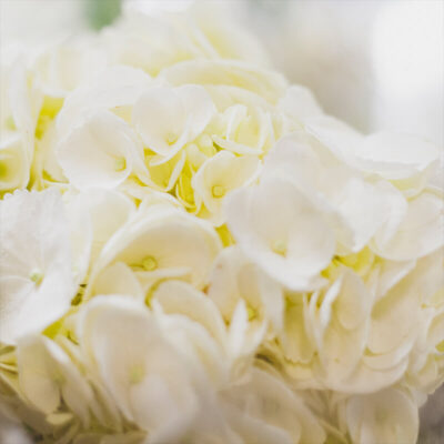 white bydrangea Flower Delivery