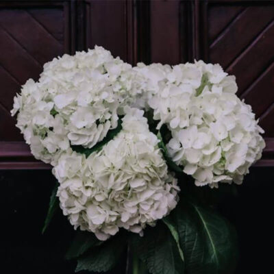 white bydrangea Flower Delivery Vancouver