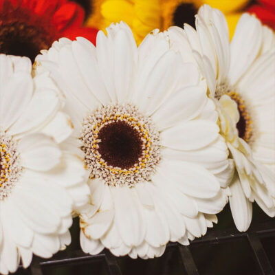 white gerberas Flower Delivery Vancouver